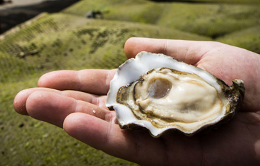 It takes oysters days to mature