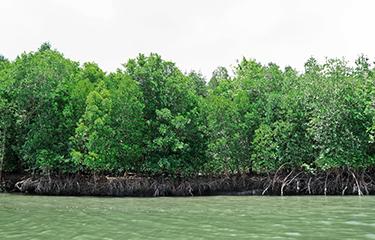 Thailand mangroves