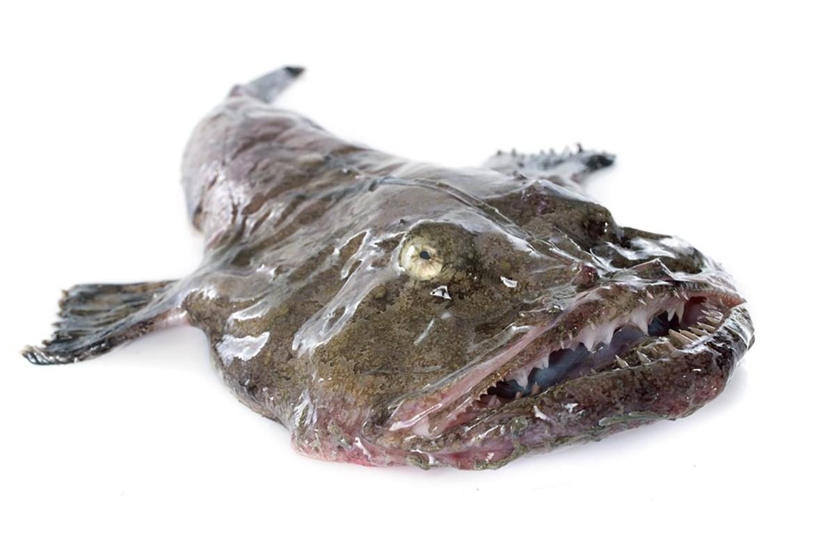 World's first anglerfish (monkfish) fishery certified to MSC